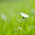 Нет – сорнякам на газоне